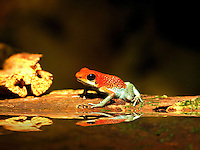 Granular Poison-Arrow Frog