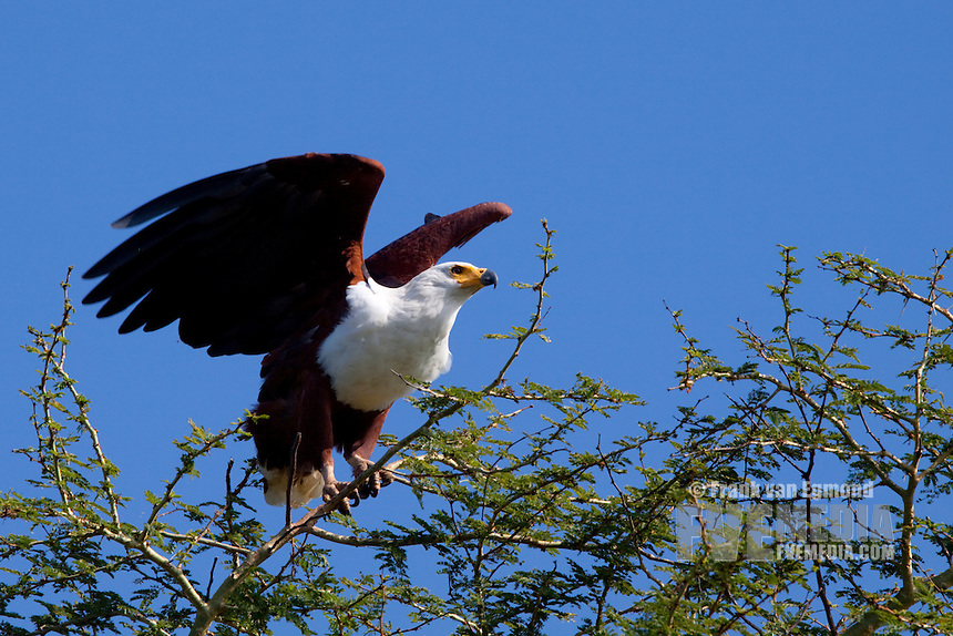 African Fish Eagle (Haliaeetus Vocifer)..Taking off. Nyamithi pan..May, Winter 2009..Ndumo Game Reserve, Kwazulu-Natal, South Africa.