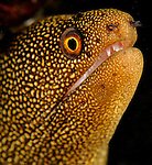 Goldentail Moray Eel, Gymnothorax miliaris