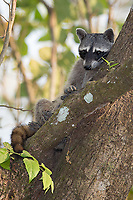 We found a pair of napping crab-eating raccoons during an afternoon walk.