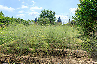 France, Loiret (45), Chilleurs-aux-Bois, château de Chamerolles et les jardins renaissance, ici un des deux carrés consacré au potager, plantation d'asperges