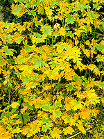 769550447 big leaf maple leaves acer macrophyllum in resplendent yellow displaying fall color along a back road on the pacific coast of oregon