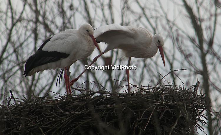 Foto: VidiPhoto..RANDWIJK - Het ooievaarsechtpaar dat al vele jaren trouw in het Betuwse Randwijk zijn nest heeft, is terug uit het warme zuiden. De dieren zijn inmiddels begonnen hun nest op orde te brengen. Dit jaar hebben er bijna 500 ooievaars overwinterd in ons land, meldt de stichting Stork. Dat is zo'n 35 procent van het totaal. Opmerkelijk is dat er ieder jaar minder ooievaars in ons land overwinteren, terwijl het aantal broedparen juist toeneemt. De oorzaak daarvan is niet duidelijk.