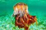 Colourful lions mane jellyfish