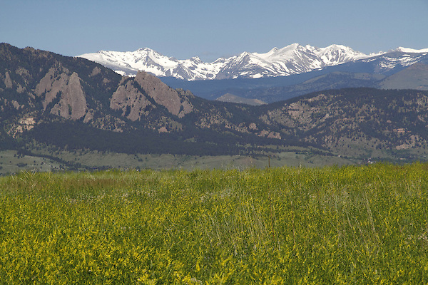 Golden clover and the Flatirons rock formation (right), Indian Peaks Wilderness Area behind, from east of Boulder, Colorado.