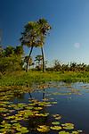 Palms in marsh, Ibera Provincial Reserve, Ibera Wetlands, Argentina