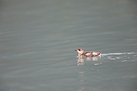 Marbled murrelet swims in the waters of Passage Canal in Prince William Sound, Alaska.