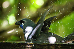 Kokako or Kokako, endangered native forest bird in New Zealand, photographed taking a bath on the island of Tiritiri Matangi. It's one of the three species of wattlebirds in New Zealand, and is now endangered, due to predation by cats, stoats, possums, rats, mice, etc. It can't fly very well, and uses its strong legs to hop from place to place through the forest. Only 400 pairs are known to exist of this subspecies, the North Island Kokako ....In Maori myth, it was the kokako that gave Maui water as he fought the sun. The kokako filled its wattles with water and brought it to Maui. His thirst quenched, Maui rewarded the kokako by making its legs long and slender, enabling the bird to bound through the forest with ease in search of food.