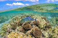 bluefin trevally, omilu in Hawaiian, Caranx melampygus, swimming over hard coral reef, Maro Reef, Papahanaumokuakea Marine National Monument, Northwestern Hawaiian Islands, Hawaii, USA, Pacific Ocean