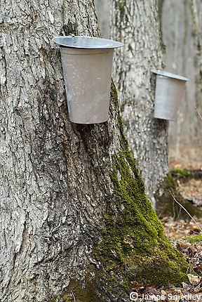 Maple sap buckets hanging on maple sugar trees