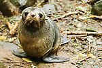 New Zealand Fur Seal (Arctocephalus forsteri) pup, Kaikoura, South Island, New Zealand