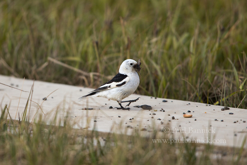 A Snow Bunting gathers mosquitos to feed to his young.