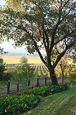 USA, California, Sonoma, Gundlach Bundschu Winery, morning light illuminates the 150 year old vineyard