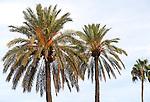 Date palm trees against blue sky in evening sunshine, Seville, Spain