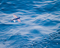 flying fish, Family: Exocoetidae, flying, Ascension Island, British Overseas Territory, South Atlantic Ocean