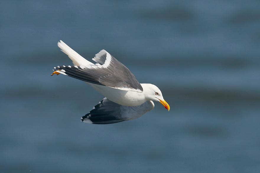 Lesser Black-backed Gull (Larus fuscus), Texel, the Netherlands