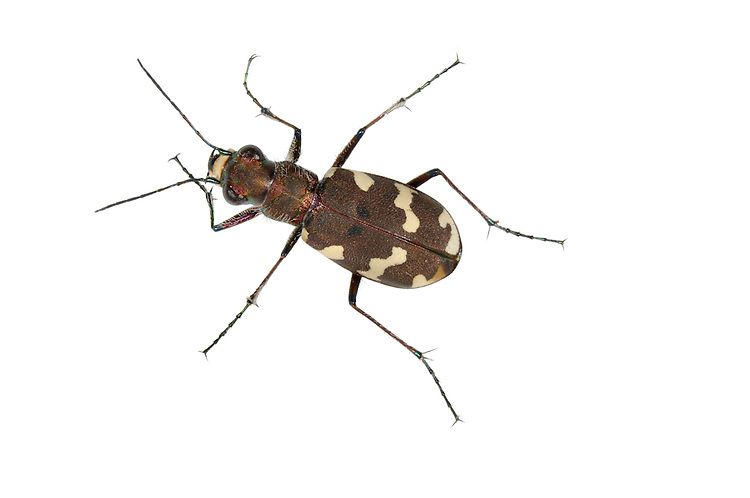 Northern Dune Tiger Beetle - Cicindela hybrida