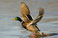 MALLARD DUCK (Anas Platyrhynchos) drake taking off from pond.