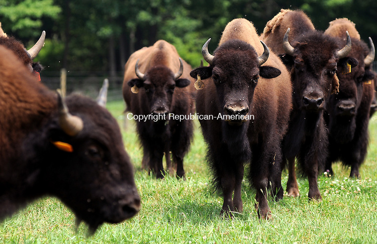 GOSHEN, CT 08  JULY, 2010-07080JS05-A herd of bison graze in the fields at Mohawk Bison on Allyn Road in Goshen. The owner Peter Fay is a member of the Eastern Bison Association and all of his bison is prime grass fed. <br /> Jim Shannon Republican-American