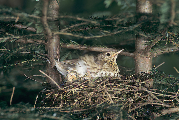 Song Thrush, Turdus philomelos, adult in nest with young in spruce, Unteraegeri, Switzerland, Europe
