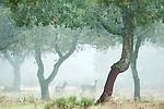 Red Deer, Cervus elaphus, in Oak Cork Forest, Sierra de Andujar Natural Park, Sierra Morena, Andalucia, Spain
