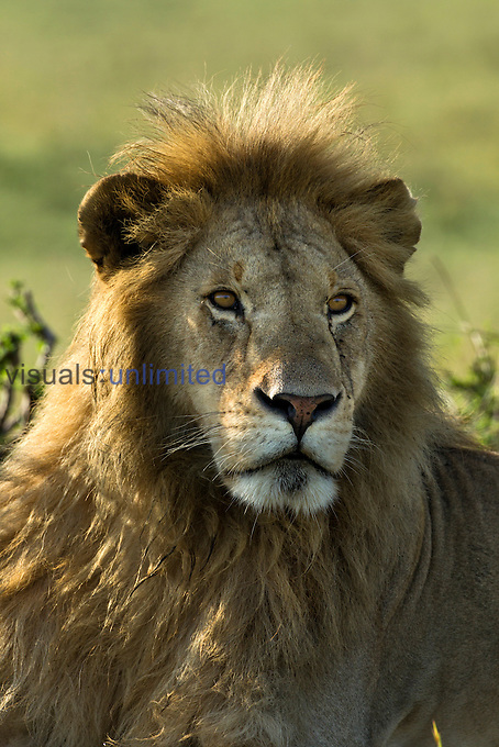 Adult male Lion, Masai Mara, Kenya