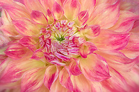 Close up of El Sol Dahlia. Swan Island Dahlia Farm., oregon