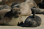 female elephant seal guarding pup