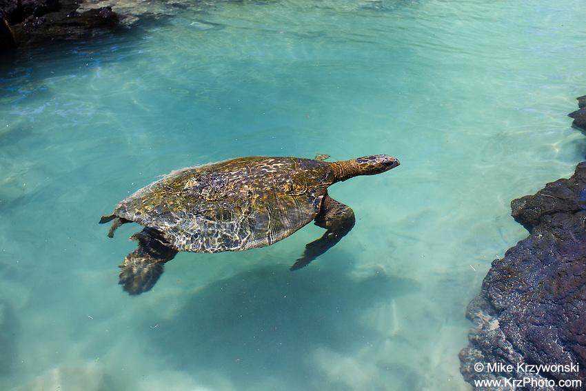 Turtle swimming at Richardson Beach Park, Hilo, Big Island, Hawaii