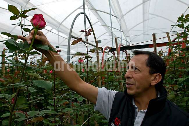 Production of flowers in Cayambe, North of Quito, Ecuador. Flowers, specially roses, are an important income of Ecuador's economy.