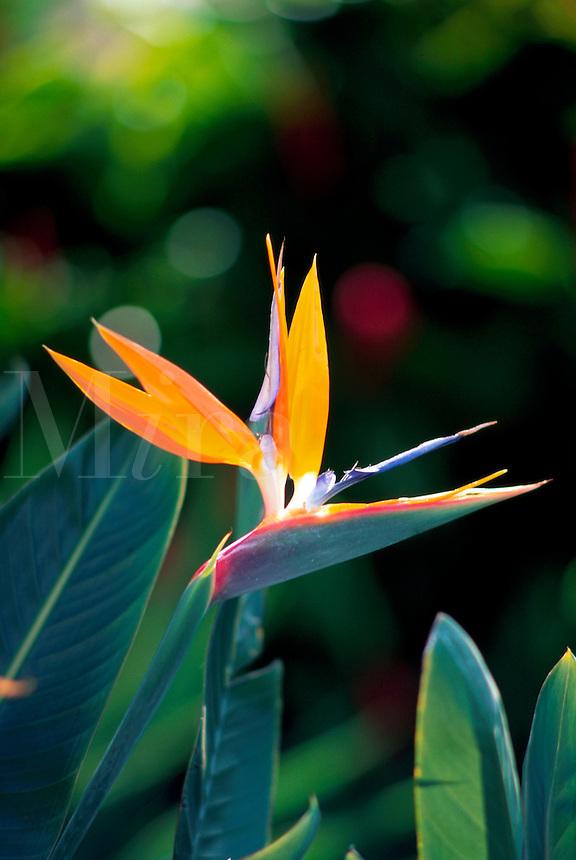 Close up of a Bird of Paradise flower. Hawaii.