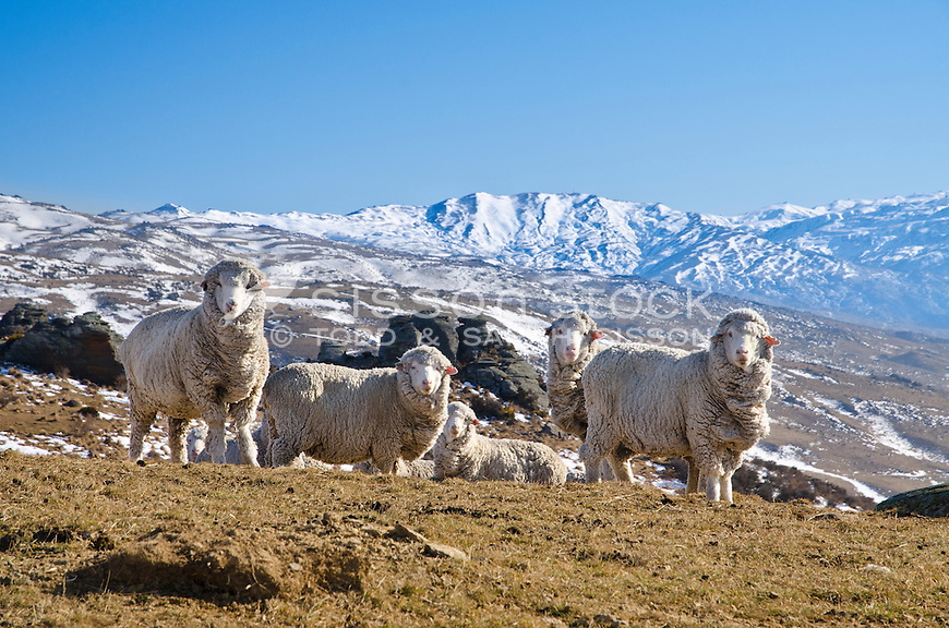 Merino sheep graze on the road to Duffers Saddle near Cromwell. Snow covered mountains in the background. Winter, Central Otago, South Island, New Zealand