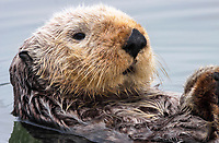 Close up of an adult sea otter (Enhydra lutris nereis) face @ Moss Landing in the Montery Bay National Marine Sanctuary.
