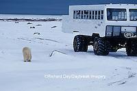 01874-06117 Polar Bear (Ursus maritimus)  & Tundra Buggy   Churchill  MB