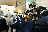 Eleven dogs from Laura Daugereau 's team, who scratched in Grayling arrive in the Penair Caravan in Unalakleet Tuesday afternoon.   Iditarod 2009