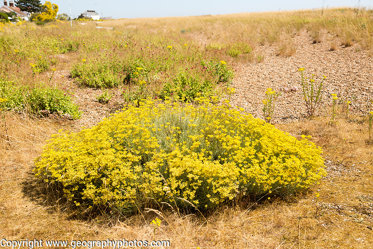 The Curry plant, Helichrysum italicum, yellow flowers, Shingle Street, Hollesley, Suffolk, England, UK
