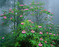 Redwood National Park, CA:  Flowering Pacific rhododendron (R. macrophyllum) in Redwood forest understory in fog - Del Norte Coast Redwoods State Park