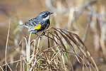 Male yellow-rumped warbler in northern Wisconsin.