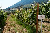 Vines. Limnio vine variety. Biblia Chora Winery, Kokkinohori, Kavala, Macedonia, Greece
