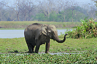 Wild Asian elephant or Indian elephant (Elephas maximus), Kaziranga National Park, India.