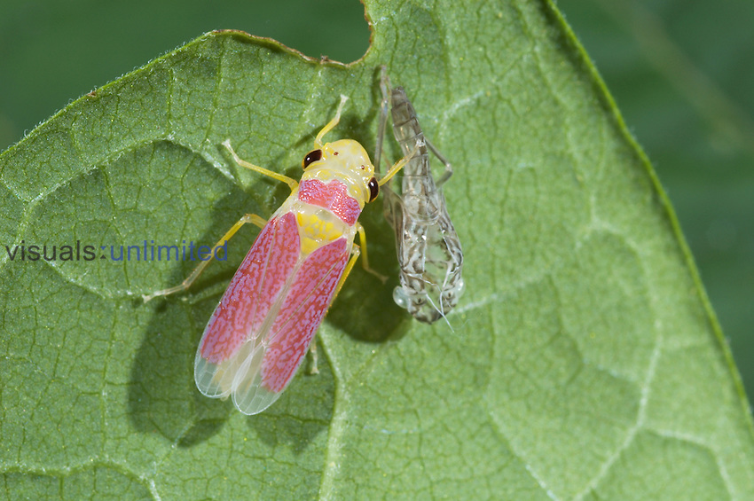 Adult Brown-headed Sharpshooter Leafhopper ,Oncometopia orbona, next to the shell of the nymph stage out from which it has just emerged. The forewings are not fully shaped yet. Virginia, USA.