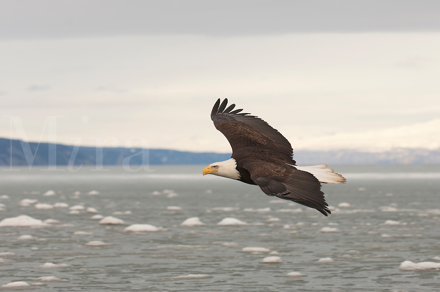 Eagle flying over icy ocean