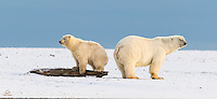 This Polar Bear cub used the driftwood log to gain the same height as his mother, as they both survey their surroundings.  The cub looks very pleased with himself.  Kaktovik, Alaska.