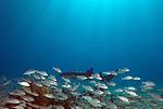 A Nurse Shark swims around the Civil War Wreck in the National Marine Park, Florida Keys.