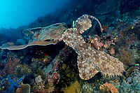 Two male tasselled wobbegong, Eucrossorhinus dasypogon, dueling for a chance to mate with a female, on the site Black Rock off Kerua Island Group, Raja Ampat, Indonesia, Indo-Pacific Ocean (do)