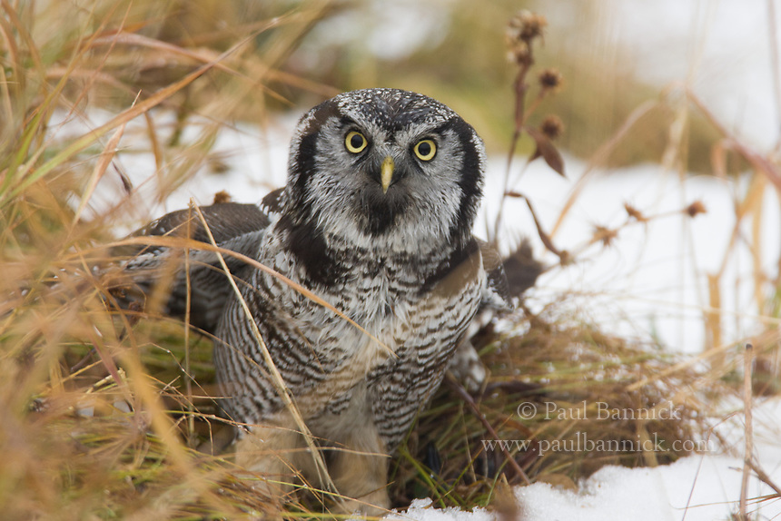 A Northern Hawk Owl looks for potential predators before flying away with prey.