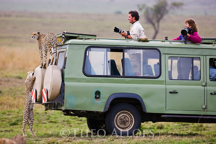 Grown cheetah cubs (Acinonyx jubatus) climbing on safari vehicle, Maasai Mara, Kenya