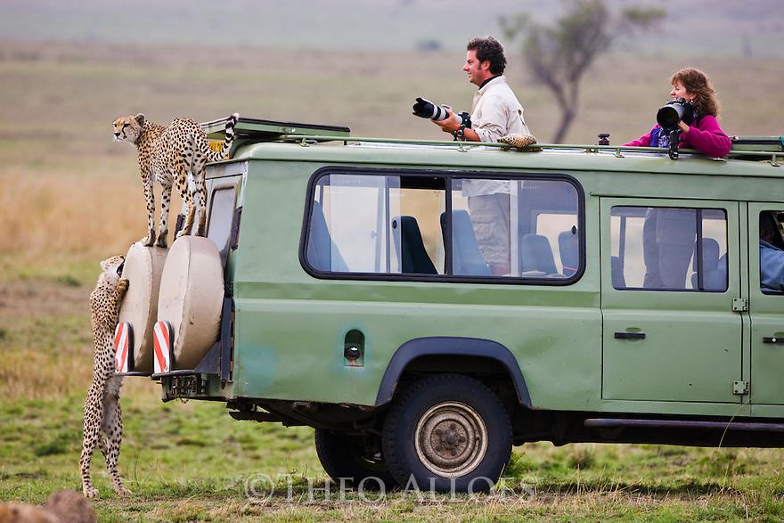 Grown cheetah cubs (Acinonyx jubatus) climbing on safari vehicle, Maasai Mara, Kenya