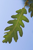Pyrenäen-Eiche, Pyrenäeneiche, Quercus pyrenaica, Pyrenean oak