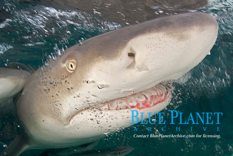 Lemon shark, Negaprion brevirostris, Little Bahama Bank, Bahama Islands, Bahamas, Caribbean, Atlantic